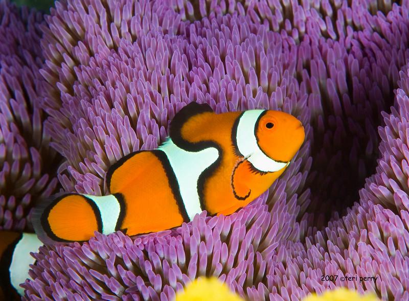 anemone clown fish &  purple .jpg