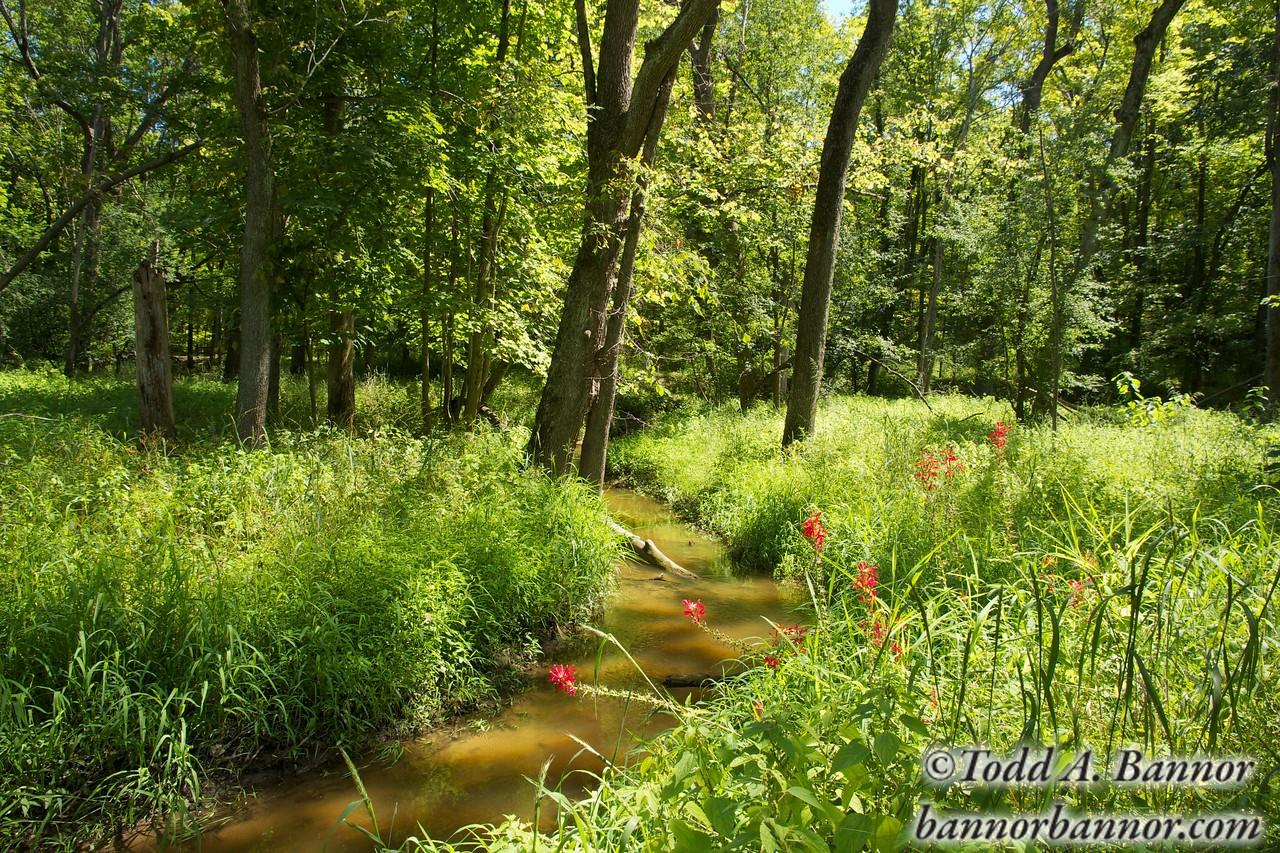 Cardinal flowers (Lobelia cardinalis) along creek. Deer Grove Forest Preserve. Cook County, Illinois.