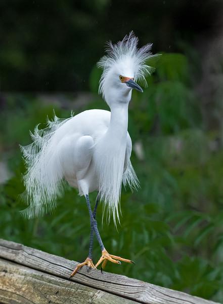 Snowy Egret Haristyle