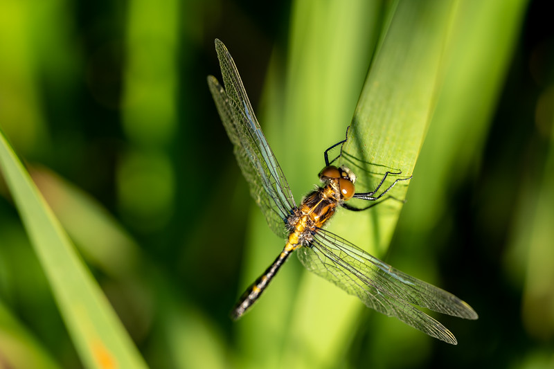 Dragonfly on a Wetland Reed