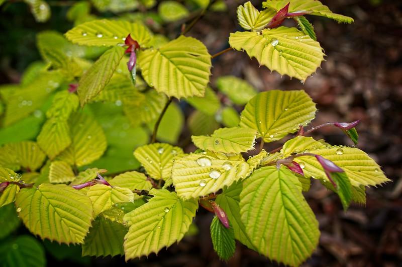 Corylopsis spicata 'Golden Spring' 2020/05/12