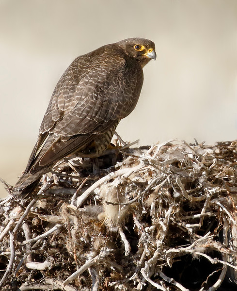Gyrfalcon on nest