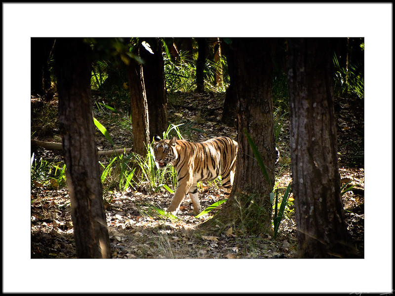 04: Bandhavgarh tiger sighting
