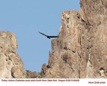 Turkey Vulture A69056.jpg