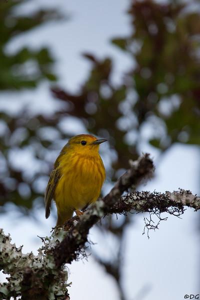 Ecuador, Galápagos, Santa Cruz: Yellow Warbler (Gul skogssångare).