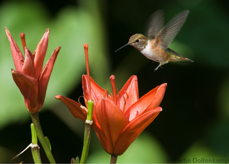 Rufous Hummingbird, juvenile male, at the Lily's.
