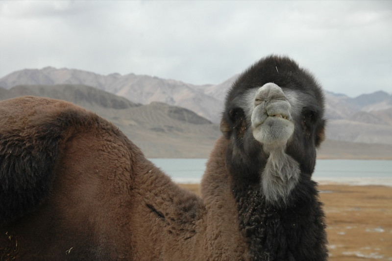 Bactrian Camel - Pamir Mountains, Tajikistan