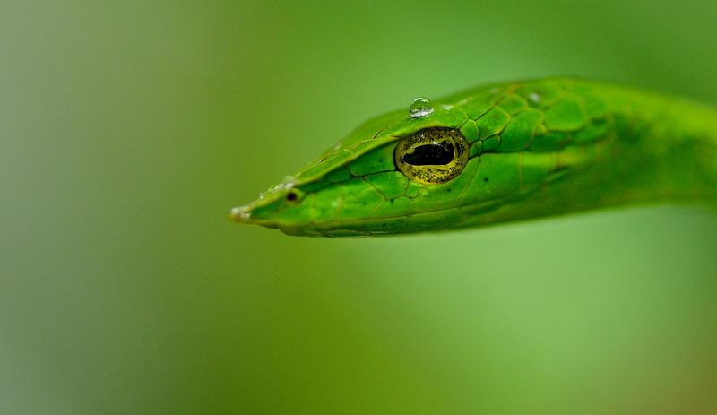 Rain-drop-green-vine-snake-agumbe-2.jpg