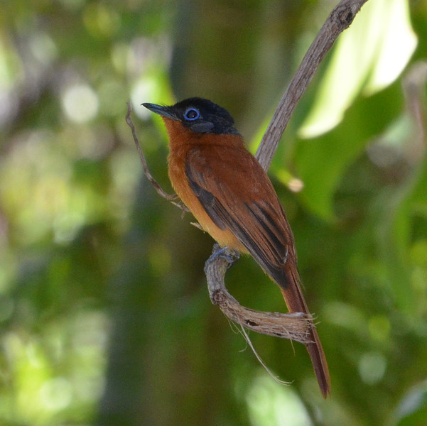 Madagascar Paradise Flycatcher - rufous morph, female