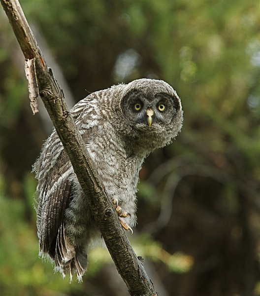 Great Grey Owl, fledgling