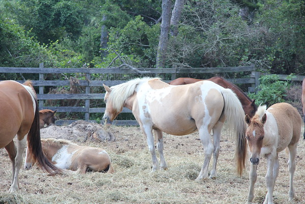 Chincoteague Horses 2013