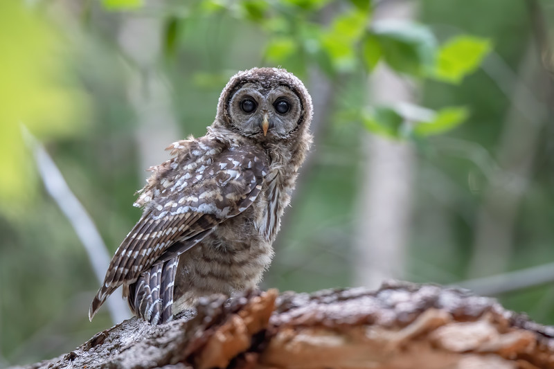 #1447 Barred Owlet