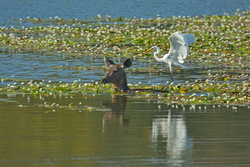 Sambar Deer (Cervus unicolor niger) grazing in a lake with an egret perched on her back