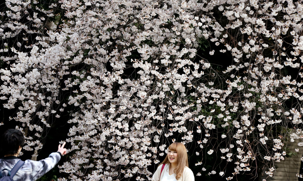 . Visitors gather for flower viewing at Shinjuku Gyoen national garden in Tokyo, as cherry blossom flowers are at full bloom Monday, March 26, 2018. Japan warms up for the spring season. These flowers only last about a week but people are flocking to hot spots throughout Japan to enjoy the scenic sights.(AP Photo/Koji Sasahara)