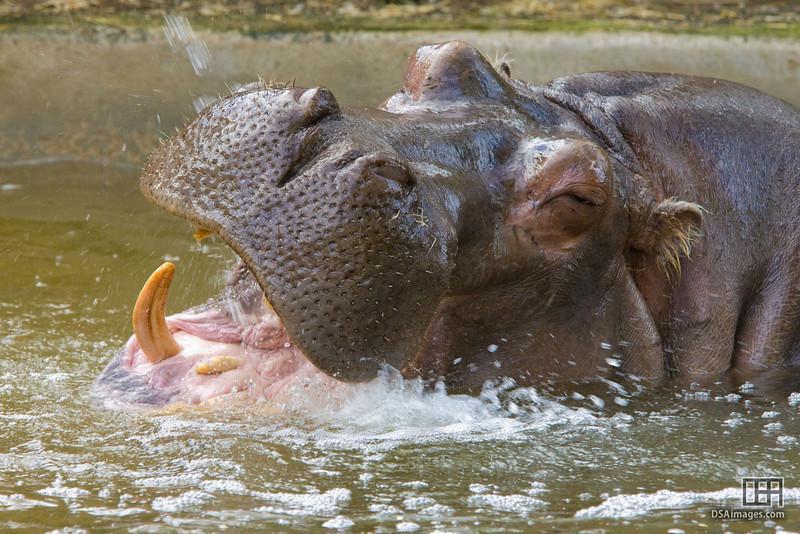 Hippopotamus (Hippoptamus amphibius)