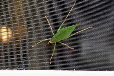 2016-08-23 Katydid bug