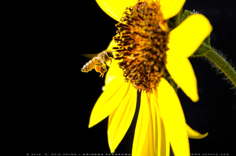 Bee Pollen Pantaloons