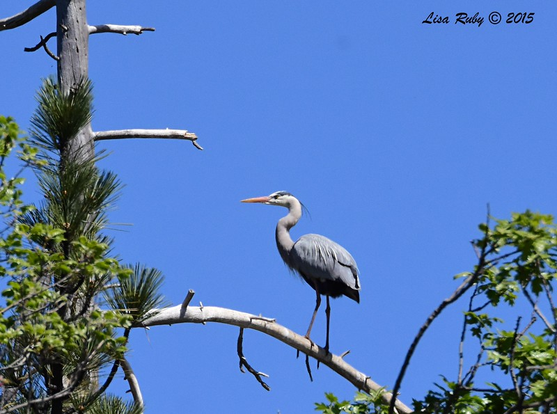 Great Blue Heron way up on a snag -  4/11/2015 - Stonewall Mine trails