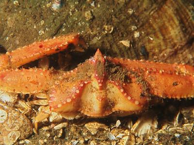 Heterocrypta occidentalis (sandflat elbow crab)