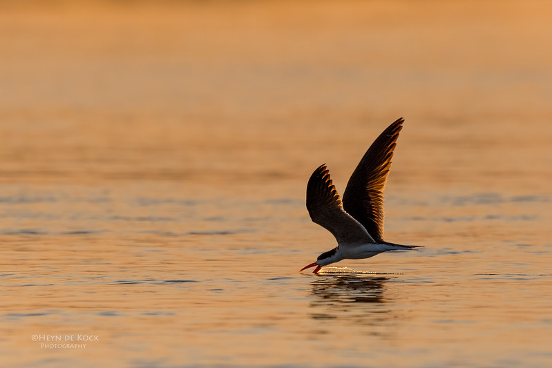 African Skimmer, Chobe River, NAM, Oct 2016-4.jpg