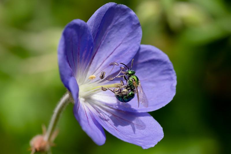 Pollen Bee purple flower-04604.jpg