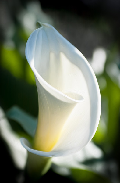 Calla Lily, Campbell, California, 2000