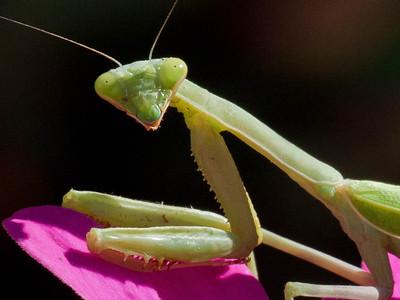 2011.09.27 NCCO mantis