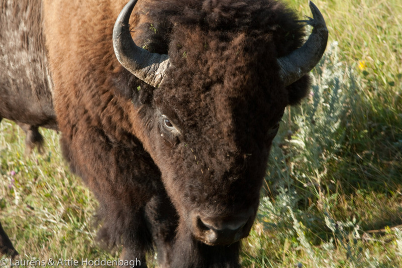 Buffalo in Theodore Roosevelt Nat'l Park