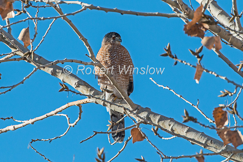Cooper's Hawk, Accipter cooperii, Bosque del Apache National Wildlife Refuge, New Mexico, USA, North America