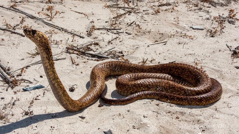 20200116 Cape Cobra (Naja nivea) from Melkbosstrand, Western Cape