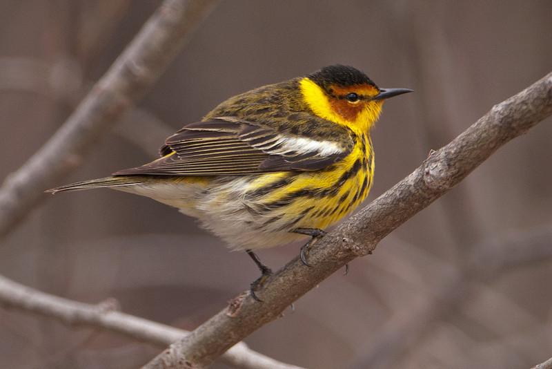Warbler - Cape May - Ballclub Lake - Itasca County, MN