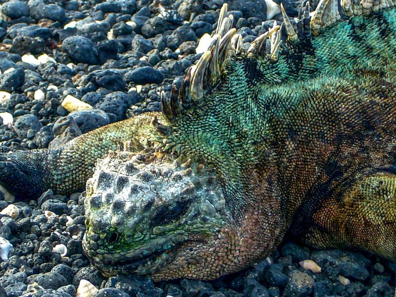 iguana galap.jpg
