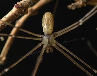 Holocnemus pluchei (Introduced)