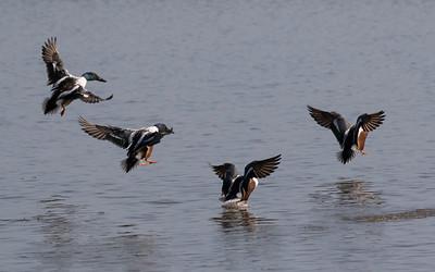 vogels ackerdijk