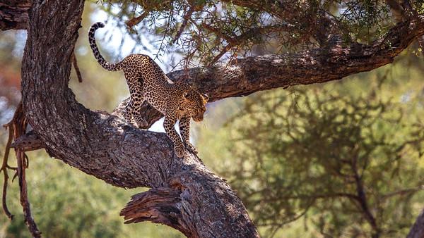 Big Five Plus Cheetah