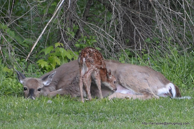 Birth of Fawns