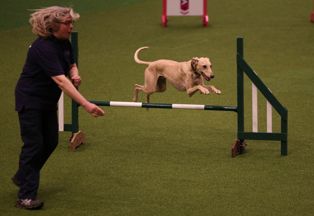 Description of . A dog jumps over a fence in the Rescue Dog Agility show in the main arena on the first day of Crufts dog show at the NEC on March 6, 2014 in Birmingham, England. Said to be the largest show of its kind in the world, the annual four-day event, features thousands of dogs, with competitors traveling from countries across the globe to take part. Crufts, which was first held in 1891 and sees thousands of dogs vie for the coveted title of 'Best in Show'.  (Photo by Matt Cardy/Getty Images)