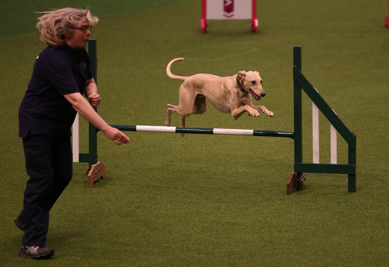 . A dog jumps over a fence in the Rescue Dog Agility show in the main arena on the first day of Crufts dog show at the NEC on March 6, 2014 in Birmingham, England. Said to be the largest show of its kind in the world, the annual four-day event, features thousands of dogs, with competitors traveling from countries across the globe to take part. Crufts, which was first held in 1891 and sees thousands of dogs vie for the coveted title of \'Best in Show\'.  (Photo by Matt Cardy/Getty Images)