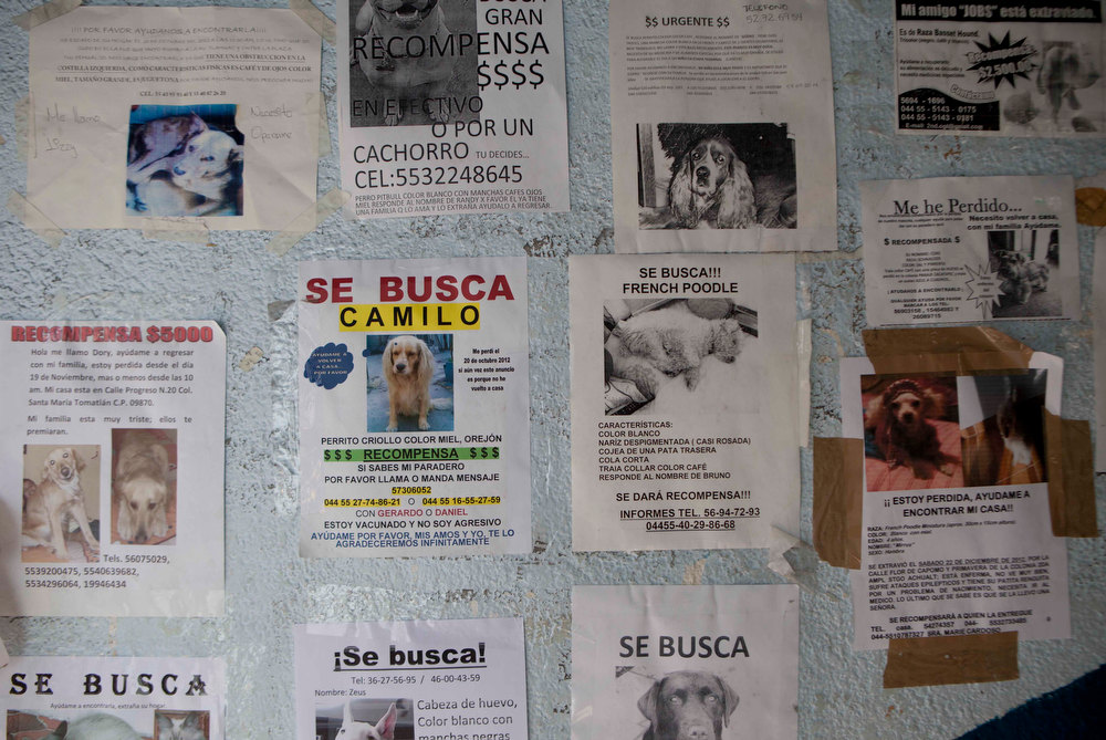 Description of . Posters of missing dogs blanket a wall at the animal shelter in the hilltop borough of Iztapalapa in southeast Mexico City, Tuesday, Jan. 8, 2013. The fatal mauling of four people by feral dogs in a Mexico City park set off debate Tuesday about the city's love/hate relationship with its dog population, and the guilt or innocence of 25 dogs trapped near the scene of the nightmarish killings. Liliana Hernandez, a self-described street dog rights activist who lives near the park, says many people let their dogs out during the day because their cinderblock homes are too small to keep them inside. Resident of their neighborhood started running frantically to collect their dogs when police began seizing strays Monday night, she said. A veterinarian at the Iztapalapa animal shelter said it appeared that at least one of the 25 captured dogs had been a pet. (AP Photo/Eduardo Verdugo)