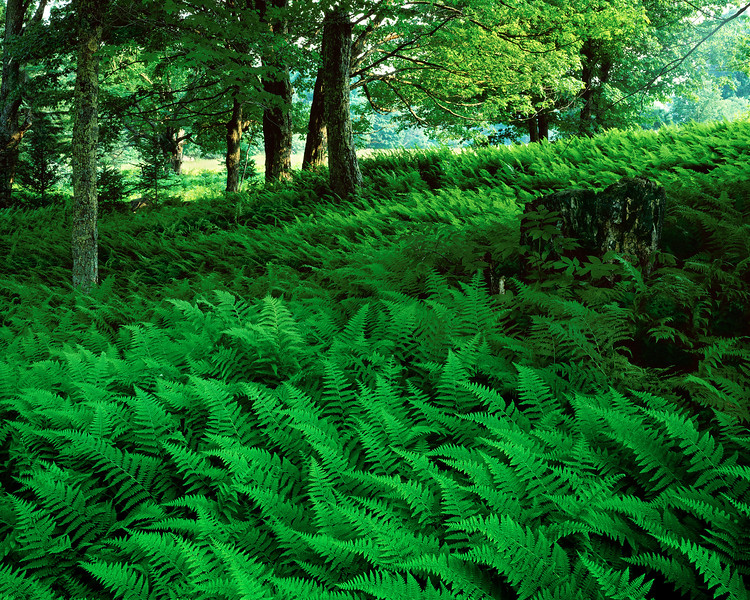 Meadow Of Ferns