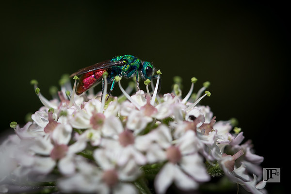 Ruby-tailed Wasps