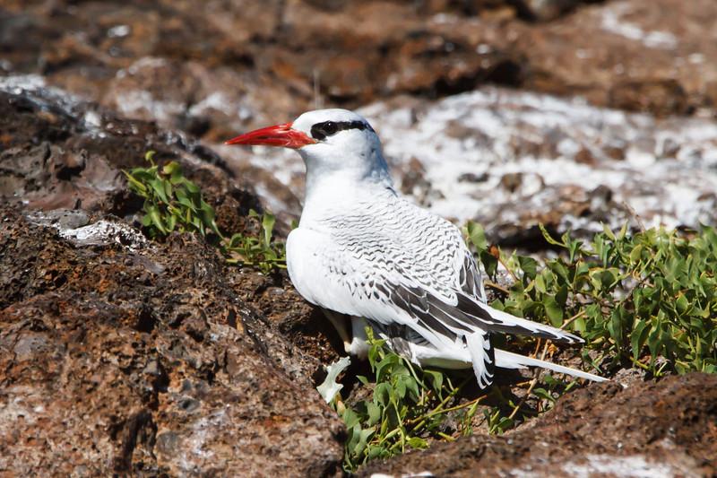 Red-billed Tropicbird at Prince Phillip's Steps, Genovesa, Galapagos, Ecuador (11-25-2011) - 544.jpg