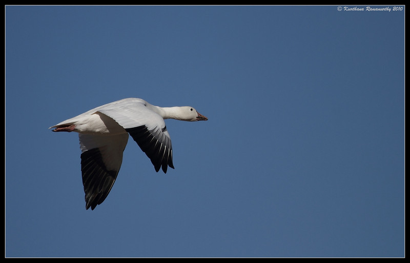 Snow Goose, Bosque Del Apache, Socorro, New Mexico, November 2010