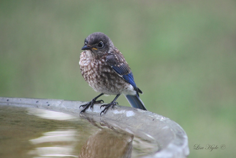 Juvenile Blue Bird signed.jpg