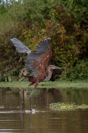 Heron, Goliath (monotypic)