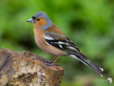 Chaffinch in Green