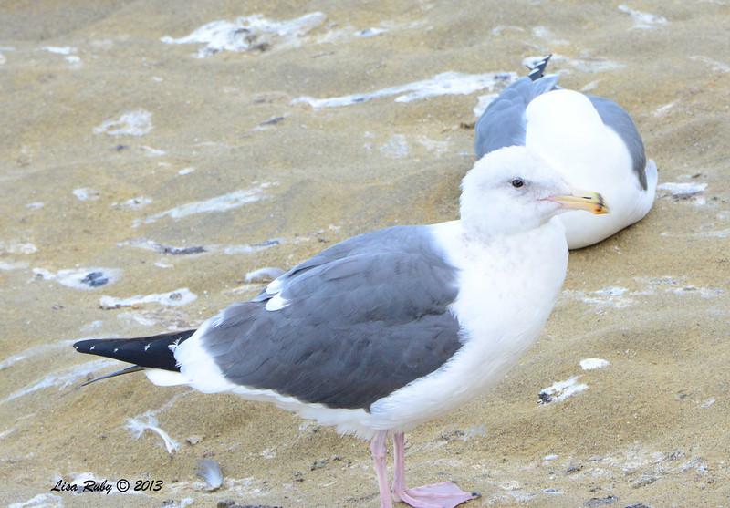 Not quite mature Western Gull - 12/1/13 - La Jolla Cove