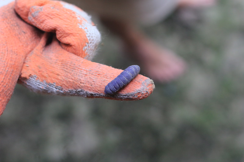 IMG_4215 caterpillar.JPG