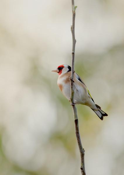 2020 - Goldfinch (April) 002
