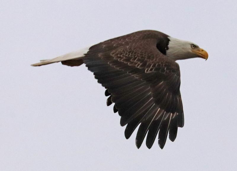 Bald eagle 177